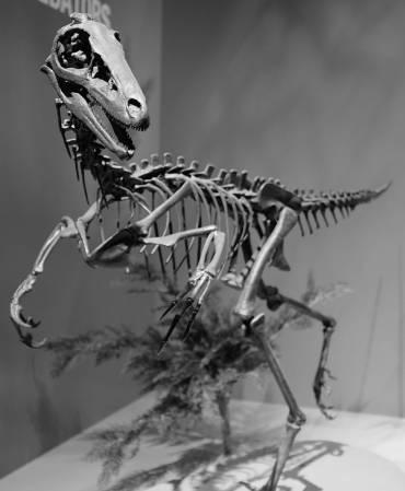 Троодон, восстановленный скелет
