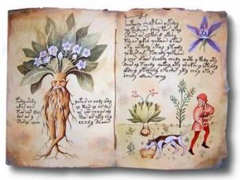 Мандрагора - ведьмина трава