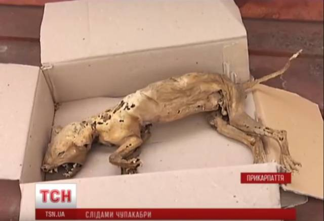 На Западной Украине обнаружили труп предполагаемой чупакабры