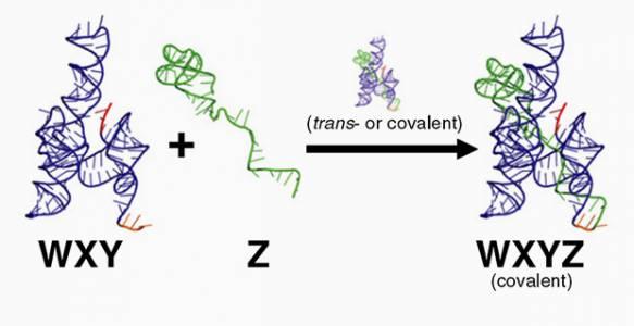 Реакция между различными фрагментами рибозима Azo с образованием целой