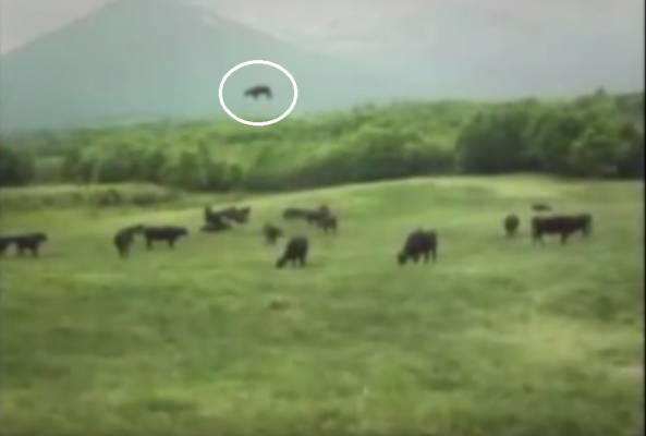 НЛО утаскивает корову притягивающим лучом